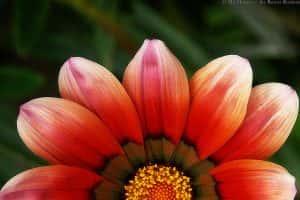 Half Bloom