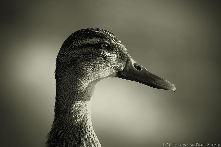 Duck Glint