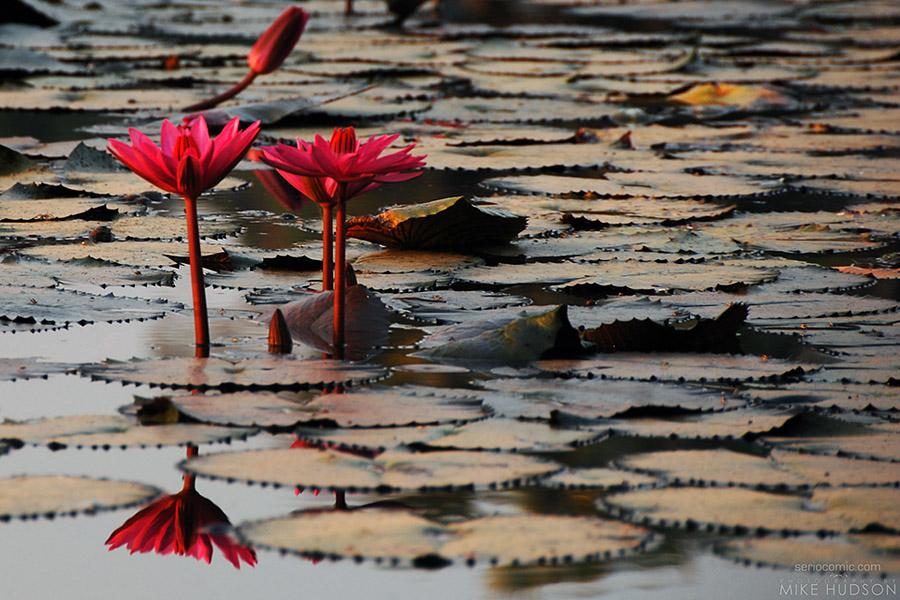 Angkor Lily