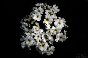 Floral Rorschach