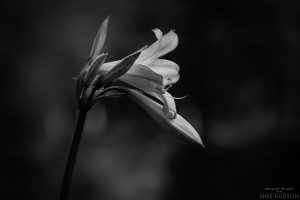 Dark Amaryllis