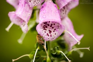 Foxglove Bee