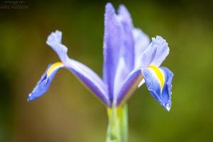 Iris Catch